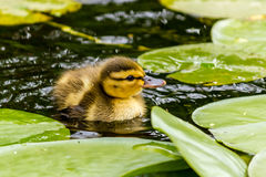Duckling standing on a water lily leaf. Duckling in a water near lily leaf Royalty Free Stock Photo