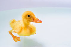 Duckling swimming Royalty Free Stock Image