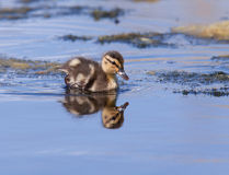 Duckling swimming. A duckling is swimming in a pond Stock Photo
