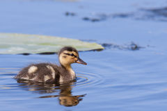 Duckling swimming. A duckling is swimming in a pond royalty free stock photos
