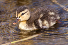 Duckling swimming. A duckling is swimming in a pond stock photography