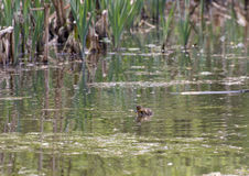 Duckling. A duckling swimming alone on a pond in the northeast of England having been left by its Mum and siblings who have swam to the other side of the pond royalty free stock image