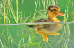 Duckling swimming in aquarium Royalty Free Stock Images