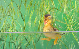 Duckling swimming in aquarium Stock Photography