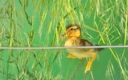 Duckling swimming in aquarium. Seven days old duckling swimming in aquarium stock photos