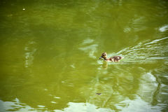 Duckling swimming. Baby mallard duck swimming in a pond Royalty Free Stock Image