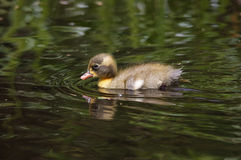 Duckling Swimming Royalty Free Stock Photos