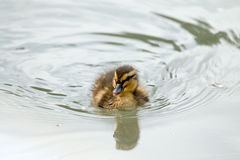 Duckling Swimming Copy Text Space Royalty Free Stock Photo