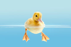 Duckling swimming for the first time Stock Photos