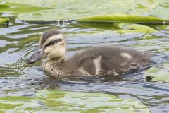 A duckling swimming through the lily pads. A duckling  swimming through the lily pads on the Ornamental Pond,  Southampton Common Stock Photo