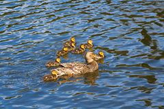 Duckling Swimming with Mom Dock Family in Water. Duck Family Swimming Together Water Lake Pond Stock Image