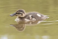 A duckling swimming. A duckling  swimming  on the Ornamental Pond,  Southampton Common Royalty Free Stock Images