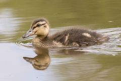 A duckling swimming. A duckling  swimming  on the Ornamental Pond,  Southampton Common Royalty Free Stock Photos
