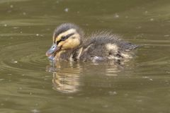 A swimming duckling with reflection Royalty Free Stock Image