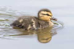 A swimming duckling with reflection Stock Images