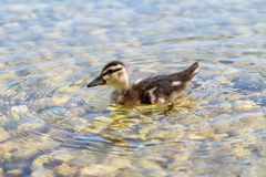 Duckling swimming on pond Royalty Free Stock Images