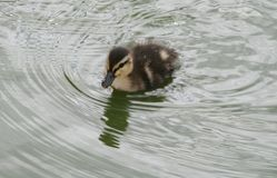 Duckling swimming in pond Royalty Free Stock Photos
