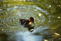 Duckling swimming in  pond. Duckling swimming in a pond Stock Photography