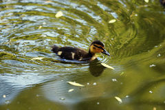 Duckling swimming in  pond. Duckling swimming in green pond Royalty Free Stock Image