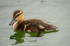 Duckling swimming in a pond. royalty free stock image