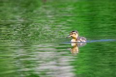 Duckling swimming on pond. Newly hatched Mallard duckling swimming on a pond Royalty Free Stock Photo
