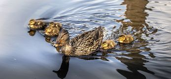 Duckling swimming in sync royalty free stock images