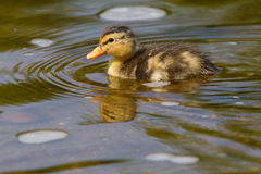 Duckling swimming in water Stock Photos