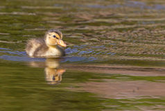 Duckling swimming in water Royalty Free Stock Images