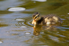 Duckling swimming in water Stock Images