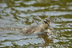 Duckling swimming in water. On a sunny day Royalty Free Stock Photo