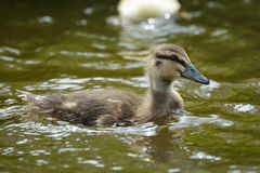 Duckling swimming in water. On a sunny day Stock Photography