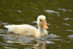 Duckling swimming in water. On a sunny day Royalty Free Stock Photography
