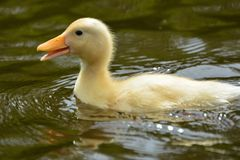 Duckling swimming in water. On a sunny day Stock Image