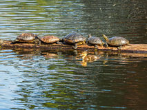 Duckling swims by a  log with  suntanning turtles Stock Photo