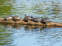 Duckling swims by a  log with  suntanning turtles Royalty Free Stock Photo