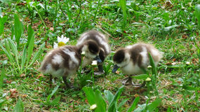 Duckling Trio. Three ducklings huddle together in St. James` Park in London, England Stock Photos