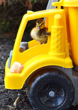 Duckling Trucker Dude. A Mallard duckling driving a toy truck Stock Images