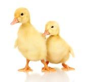 Duckling två Arkivbild