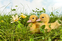 Duckling twins with easter Royalty Free Stock Images