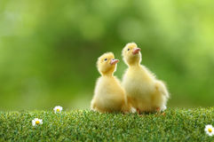 Duckling two royalty free stock photos