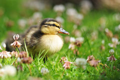Duckling Waddling Through Grass Royalty Free Stock Photography