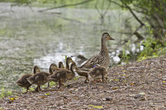 Duckling Walk Stock Photo