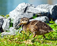 Duckling Walking. Young mallard duckling walking along a pond lined with rocks. Duck is blending in well with the surroundings Royalty Free Stock Photography
