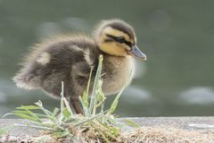 A duckling walking beside the pond on Southampton Common royalty free stock image