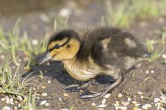 A duckling walking on the grass Stock Photography