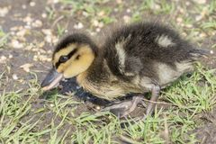 A duckling walking on the grass Stock Photo