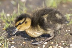 A duckling walking on the grass Royalty Free Stock Photos