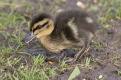 A duckling walking on the grass Royalty Free Stock Photography