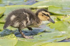 A duckling on a lily pad. A duckling walking on a lily pad on the Ornamental Pond, Southampton Common, Hampshire, UK Stock Image