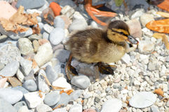 Duckling walking on pebbles stock photo